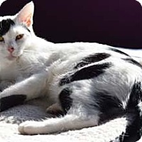 Adopt A Pet :: Chip - Merrifield, VA