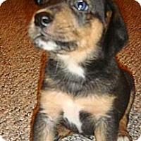 Adopt A Pet :: Victory - Novi, MI