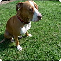Adopt A Pet :: FOUND PITBULL - Portland, OR
