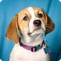 Adopt A Pet :: Sheldon - Minneapolis, MN