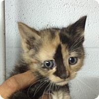 Adopt A Pet :: Blossom - Piscataway, NJ