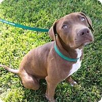 Adopt A Pet :: Bella - Rohnert Park, CA