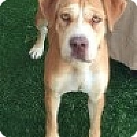 Adopt A Pet :: Marge - Las Vegas, NV