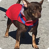 Chihuahua/Miniature Pinscher Mix Dog for adoption in Palm Harbor, Florida - Keeko