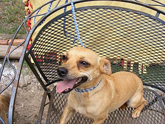 Chihuahua Mix Dog for adoption in Dallas, Texas - Camryn