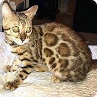 Adopt A Pet :: I'M ADOPT Bengals