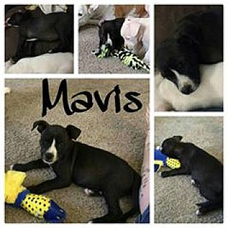 American Bulldog/Labrador Retriever Mix Puppy for adoption in Phoenix, Arizona - Mavis