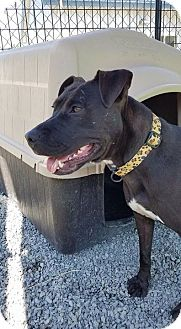 American Staffordshire Terrier Mix Dog for adoption in Barco, North Carolina - Phoebe