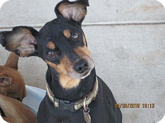 Miniature Pinscher Mix Dog for adoption in Blanchard, Oklahoma - Tolliver
