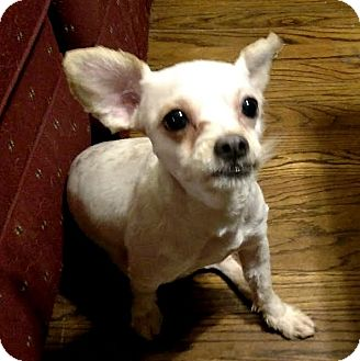 Chihuahua/Terrier (Unknown Type, Small) Mix Dog for adoption in Detroit, Michigan - Sophia Loren-Adopted!