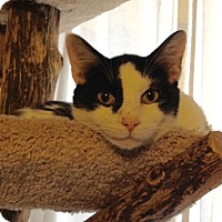 Turkish Van Cat for adoption in St. Louis, Missouri - InkBlot