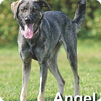 Adopt A Pet :: Angel - Ottumwa, IA