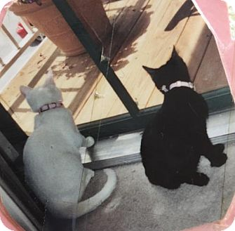 Domestic Shorthair Cat for adoption in Baltimore, Maryland - THESSAILY AND MAGGIE - COURTESY POST