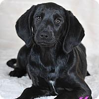 Adopt A Pet :: Noelle - Colmar, PA