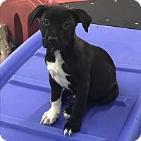 Adopt A Pet :: Laredo, Texas Litter - Redding, CA