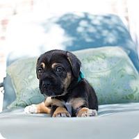 Adopt A Pet :: Tiana - Austin, TX