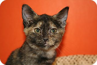 Domestic Shorthair Kitten for adoption in SILVER SPRING, Maryland - PHYLLIS