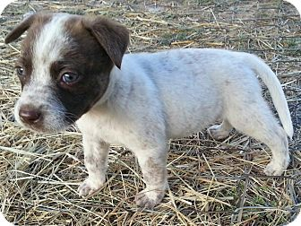 German Shorthaired Pointer/Border Collie Mix Puppy for adoption in Linton, Indiana - Sheppy