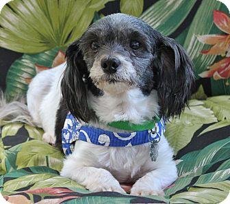 Jacksonville Fl Shih Tzu Poodle Miniature Mix Meet Starla A Dog For Adoption