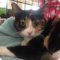 Calico Cat for adoption in Los Angeles, California - Francesca