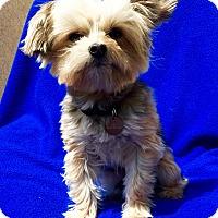 Adopt A Pet :: Andy - Encino, CA