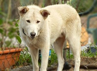 Husky/Shepherd (Unknown Type) Mix Dog for adoption in Orlando, Florida - Skeeter