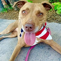 American Staffordshire Terrier/American Pit Bull Terrier Mix Dog for adoption in San Diego, California - Starfish