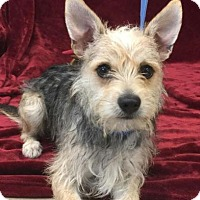 Adopt A Pet :: Spike - Harrisonburg, VA