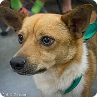 Adopt A Pet :: Rolo - Loudonville, NY