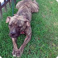 Adopt A Pet :: Brenda Wonderful Family Doggie - Rowayton, CT