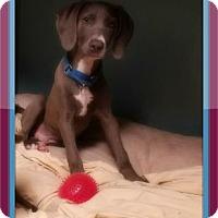 Adopt A Pet :: Morgan AKA Lincoln - Loxahatchee, FL