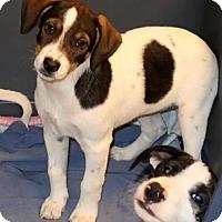 Adopt A Pet :: Pepsi - Rockingham, NH