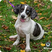 Adopt A Pet :: Sasparilla - Princeton, MN