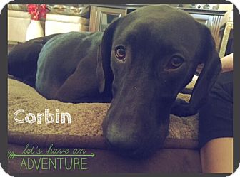 Labrador Retriever Mix Dog for adoption in Austin, Texas - Corbin