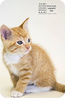 Domestic Shorthair Kitten for adoption in Houston, Texas - BROCKY