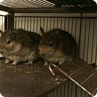 Degu for adoption in Caro, Michigan - 6 Males