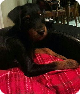 Fox Terrier (Toy)/Terrier (Unknown Type, Small) Mix Puppy for adoption in New Port Richey, Florida - Theo