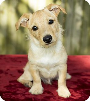 Corgi/Jack Russell Terrier Mix Dog for adoption in Alvin, Texas - Beemer -N
