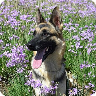 German Shepherd Dog Dog for adoption in San Diego, California - Connie
