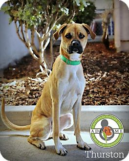 Boxer Mix Puppy for adoption in Oceanside, California - Thurston