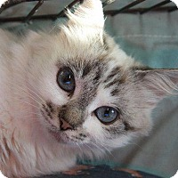 Siamese Cat for adoption in Angola, Indiana - Seashell