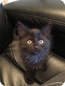 Domestic Mediumhair Kitten for adoption in Butner, North Carolina - Blitz