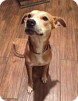 Labrador Retriever/Pit Bull Terrier Mix Dog for adoption in New Braunfels, Texas - Sandy(Laylah)