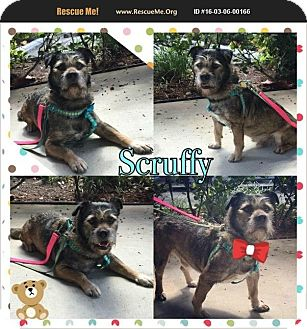 Border Terrier/Shepherd (Unknown Type) Mix Dog for adoption in Homestead, Florida - Scruffy