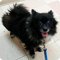 Adopt A Pet :: GIDGET (courtesy post) - Elyria, OH