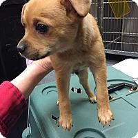 Adopt A Pet :: Apollo - norridge, IL