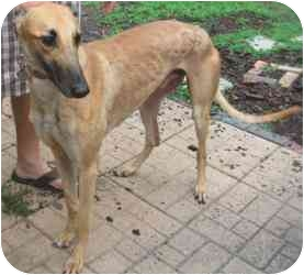 Greyhound Dog for adoption in Canadensis, Pennsylvania - Nickie