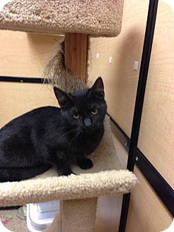 Domestic Shorthair Cat for adoption in Monroe, Georgia - Newbi