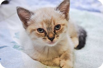 Siamese Kitten for adoption in Brooklyn, New York - Paloma
