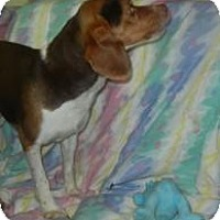 Adopt A Pet :: Justin Beagler ADOPTED!! - Antioch, IL